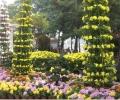 菊花花坛图片