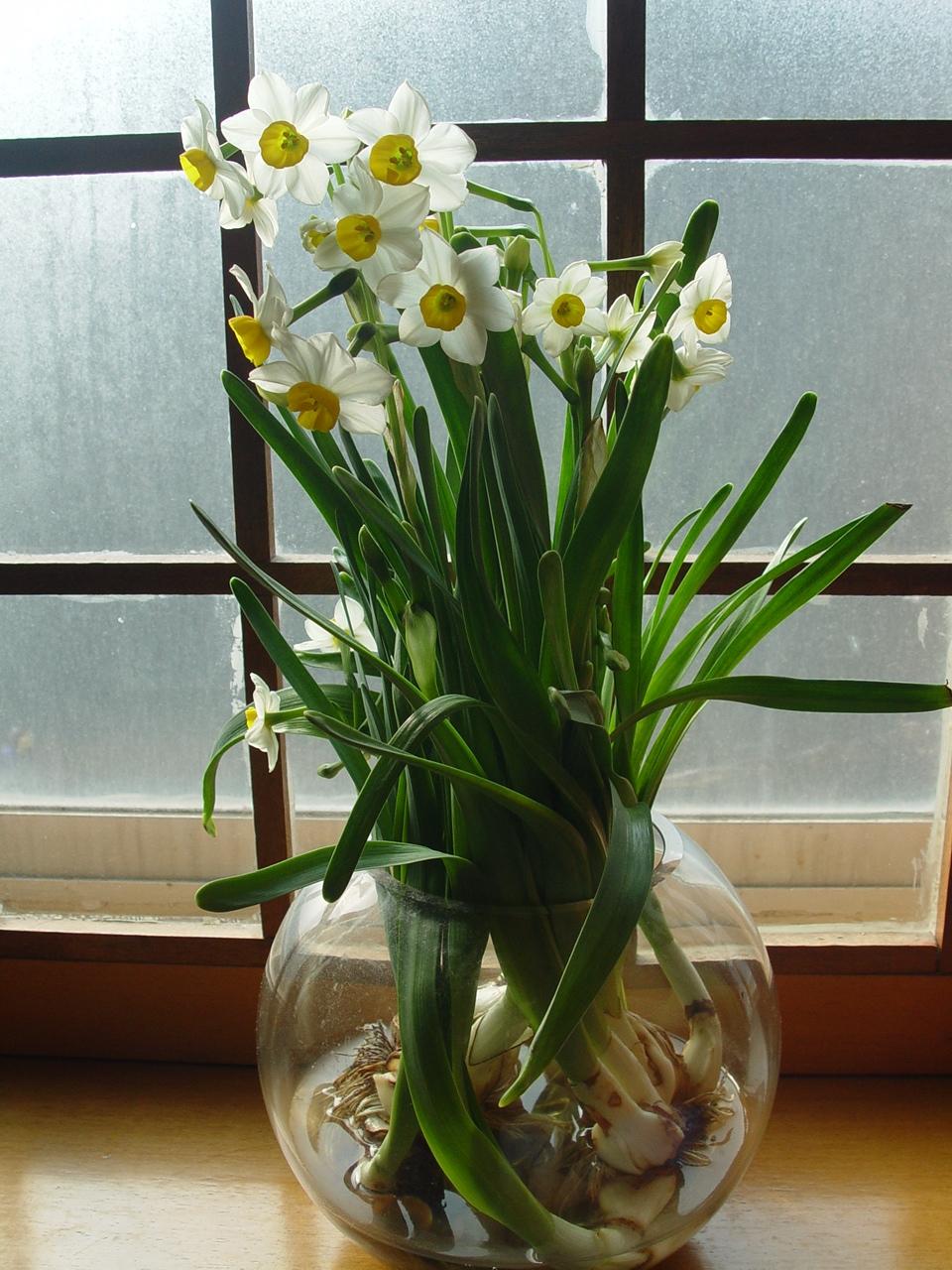 水仙花的养植方法_水仙花的养殖方法
