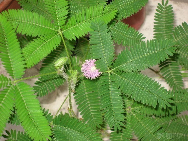 含羞草的花和它的叶子都很具有观赏价值,在现在,许多的人都喜欢在家里养殖些盆栽,含羞草就是个不错的选择。许多的人都喜欢中含羞草,但是许多的人都不会种。那么你对含羞草的养殖方法你又知道多少,下面就跟小编一起来看看吧。  一 含羞草的生长的环境 含羞草它的适应性强,它喜欢温暖湿润的地方,它在湿润的肥沃土壤中生长良好,同时它对土壤要求不严,不耐寒,喜光,又能耐半阴,现多做家庭内观赏植物养植,含羞草一般生于山坡丛林中及路旁的潮湿地。 二 含羞草的养殖方法 含羞草在一般的土壤里就可栽培,但是最好是在疏松、肥沃的土壤里