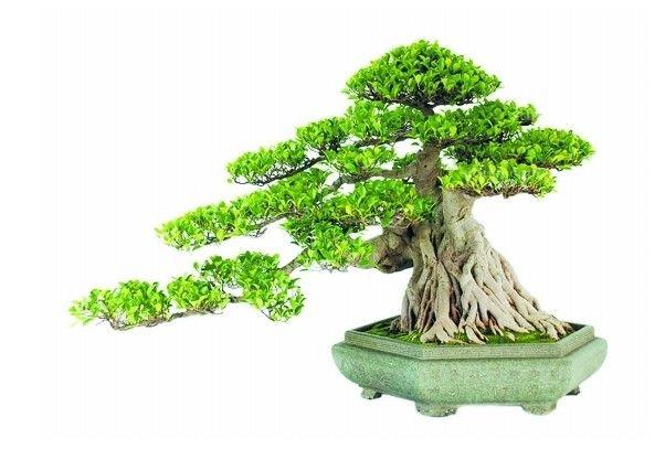 榕树盆栽; 家居绿植培养_榕树盆栽养殖技巧;; 为榕树盆景的观赏价值