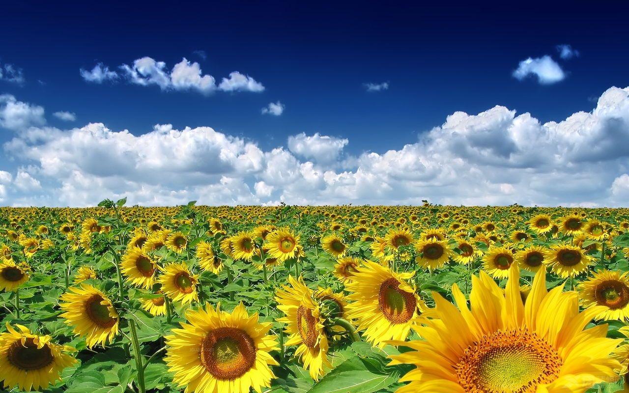 感受向日葵的唯美 电脑壁纸大全欣赏图片