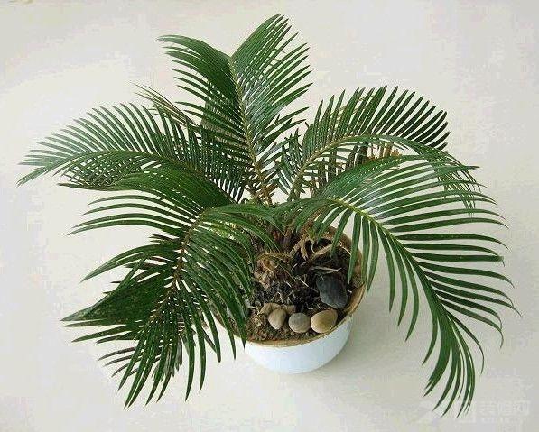 海铁树和金海柳 区别